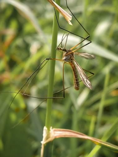 Eritz.cortazar en Hamelin: Fauna  (Bilbao), Tipula de los prados🦟  #tipula #tipulapaludosa #paludosa #mosquito #insecto #insect #macro #macrofoto #macroph...