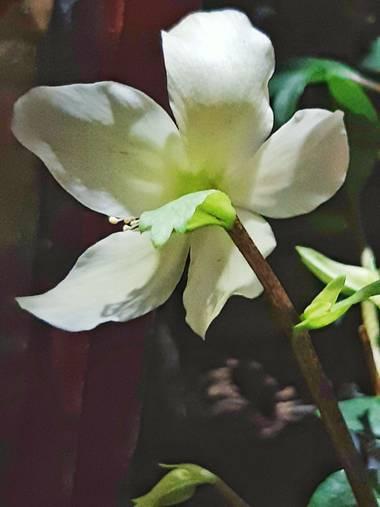 Mpinfante en Hamelin: Flora, Helleborus niger