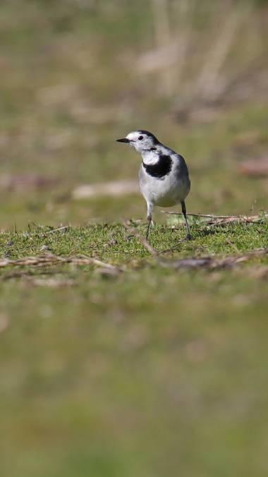 Rafael Alarcón Guerrero  en Hamelin: Fauna  (Alcalá de Henares), Motacilla alba Linnaeus, 1758, #aves21 #lavanderablanca #aves #birdsphotography #birdscapt...