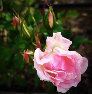 Mcjarama en Hamelin: Flora  (Benidorm), Rosa chinensis, #flora21
