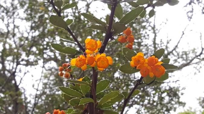 Martin.belinsky89 en Hamelin: Flora, Berberis darwinii, #flora21