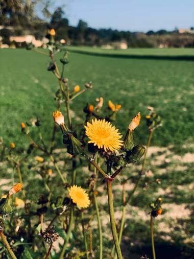 Clari Montal en Hamelin: Flora  (Lloret de Vistalegre), #primavera2021 #mallorca #sineu