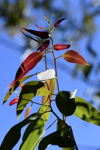 Ninigabi en Hamelin: Flora  (Isla Cristina), #hojaseucaliptus