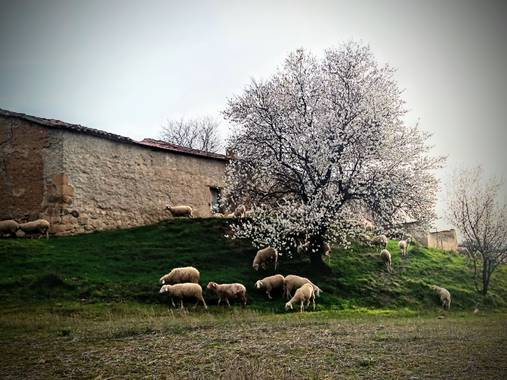 Marimer1512 en Hamelin: Flora  (El Piñero), Almendro en flor y ovejas pastando#elpiñero#zamora