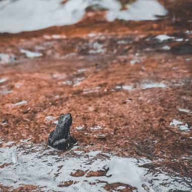 EdwinCoran en Hamelin: Fauna  (Coroico), La de la foto es una ranita de rio que terminó su ciclo de pasar de renacuajo a rana, vale decir que las ranas no ...