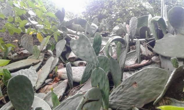 Antoniobarrozoh en Hamelin: Flora, Opuntia ficus-indica, Tunal