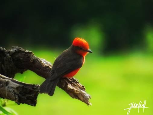 Jufer522 en Hamelin: Fauna, Una especie hermosa, que resalta su hermoso color rojo en su abdomen y su color negro intenso en su lomo. #pajaros #faunacolom...