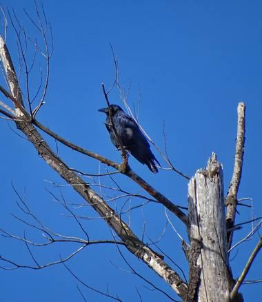 Mivilor68 en Hamelin: Fauna  (Villafranca del Bierzo), Corvus corone Linnaeus, 1758, #cuervo