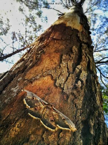 Mararuizasensio en Hamelin: Flora  (Ojén), #tronco #arbol #corteza #flora21 #arboles #pino #camuflaje #fauna