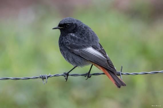 Unai Urresti en Hamelin: Fauna  (Trucios), Phoenicurus ochruros (S.G.Gmelin, 1774), Colirrojo tizón.  #aves21 #colirrojotizon  #fauna