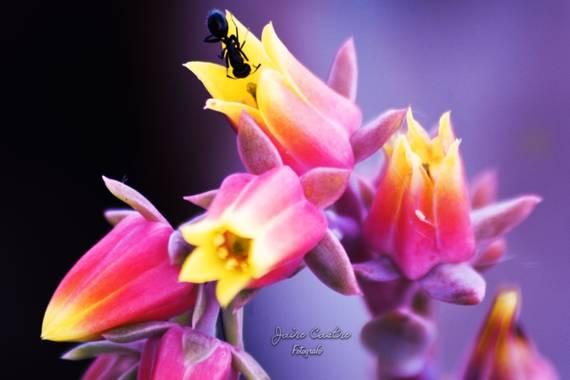 jairocastro18 en Hamelin: Flora, Echeveria elegans, #macro