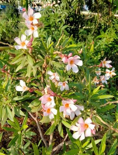 Solerantonio2 en Hamelin: Flora  (Almería), Nerium oleander, Bonito floral