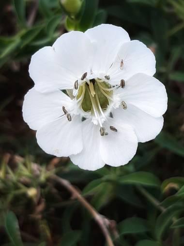 Mpinfante en Hamelin: Flora, Silene uniflora, ♧COLLEJA MARINA (engl. sea campion).  -Planta perenne que habita en arenales costeros, acantilados y roquedo...