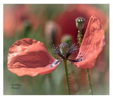 Fco M. Barco Fotografía en Hamelin: Flora  (La Algaba), Papaver argemone, La vida esta para bailar al ritmo del aire. #flora21 #amapola #fotografiandomomen...