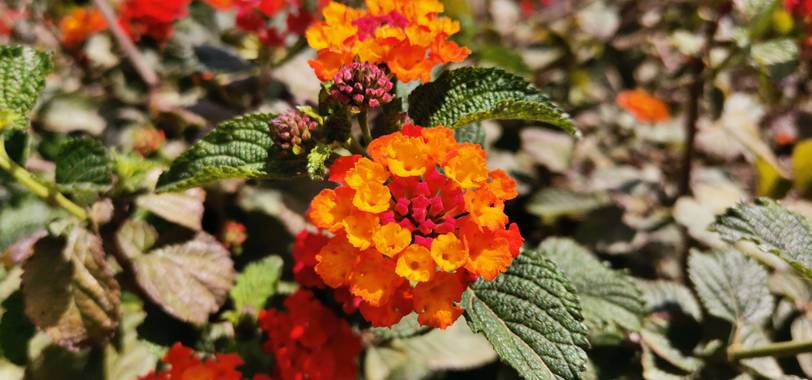 Barbadillo95 en Hamelin: Flora, Lantana camara