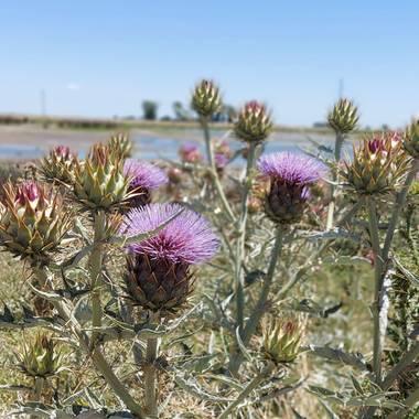 Vivi en Hamelin: Flora  (General Lavalle), Cynara cardunculus, #flora