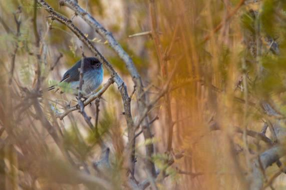 Ángel Vargas  en Hamelin: Fauna  (Coahuila de Zaragoza), Polioptila melanura Lawrence, 1857, #birds_nature #birdpicture #birds_captures #birdshots #avesdem...
