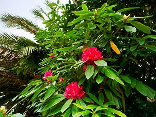 raquelarriola15 en Hamelin: Flora  (A Coruña), Jardín particular de otoño e invierno con Rododendro en flor. #parquesyjardines