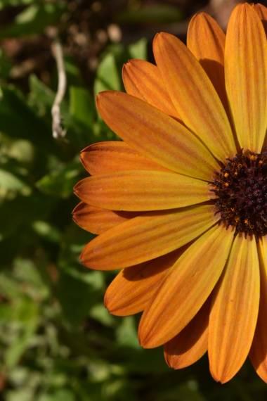 Anna_beit9 en Hamelin: Flora, Dimorphotheca sinuata, Margaritas
