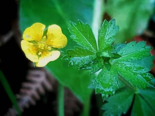 Mpinfante en Hamelin: Flora, Potentilla erecta, ♧Tormentilla, sietenrama...  -Pertenece a la familia de las Rosáceas. En terrenos húmedos tiende a arrastr...