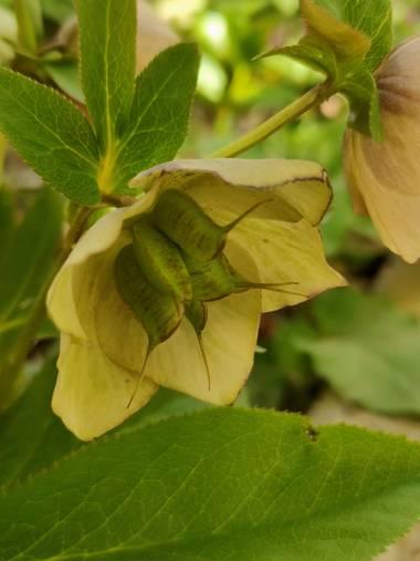 IreneRoldan en Hamelin: Flora  (Madrid), Helleborus orientalis Lam., Primavera en el #realjardinbotanicomadrid