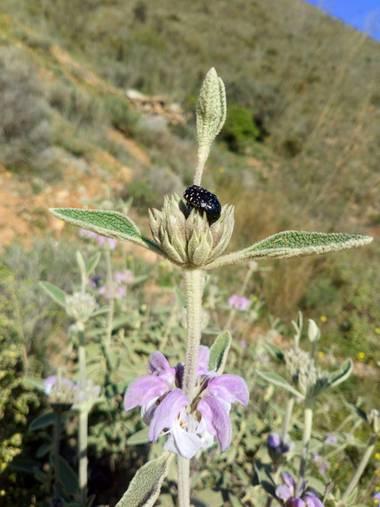 Apasnau75 en Hamelin: Flora  (Málaga), Phlomis purpurea, Matagallo colonizado por insecto.
