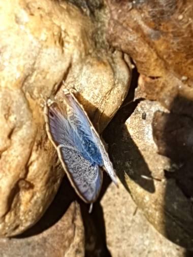 Eva.160968 en Hamelin: Fauna  (Orense), #mariposa