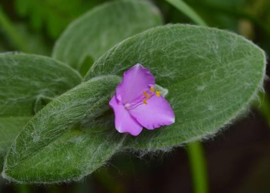ivanmanuel en Hamelin: Flora  (San Lorenzo), Tradescantia sillamontana, #tradescantia