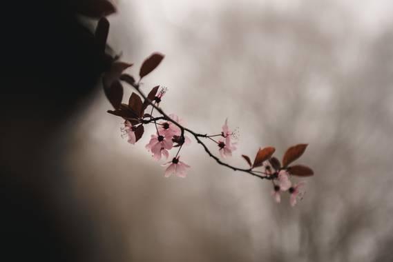 Oriolp0 en Hamelin: Flora  (Montseny), Prunus cerasifera, #flora21