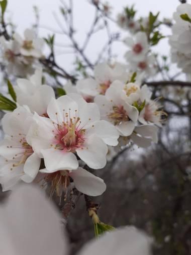 Mariantrisi en Hamelin: Flora, Prunus dulcis