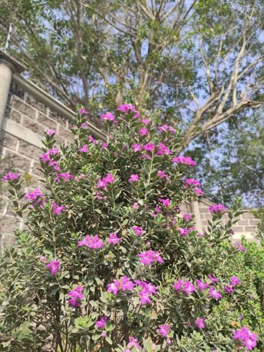 Are Reyes Mendoza en Hamelin: Flora  (Cuautla), Leucophyllum frutescens, ¡Camino de cenizos! 🌱🌺 #flora21