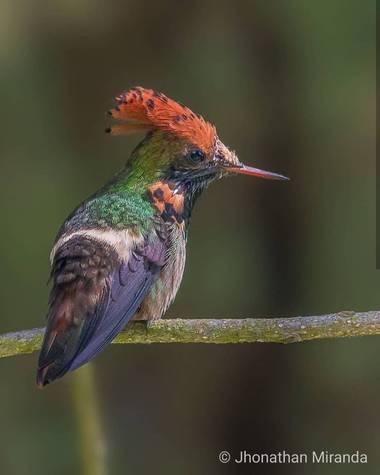 jhonathanmiranda1 en Hamelin: Fauna  (Caracas), Lophornis stictolophus Salvin & Elliot, 1873, Increíble combinación  #aves21 #avesdevenezuela #birdsofvenez...
