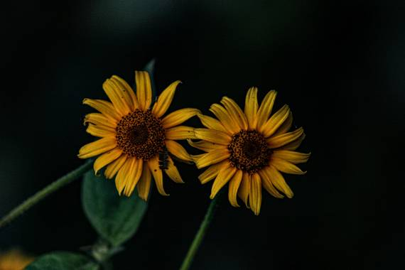Franciss RNR  en Hamelin: Flora  (Pimampiro), #falsogirasol
