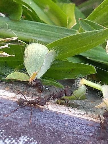 GrachuV. en Hamelin: Fauna, Hormigas trabajando...