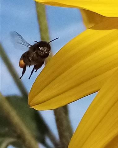 Navarroarevalomariateresa en Hamelin: Fauna  (Viesca), En busca de néctar!!!