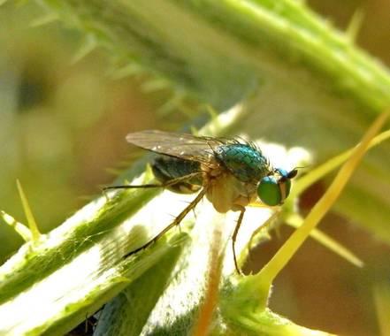 Migyus en Hamelin: Fauna  (Coca), #moscaverde  #insectos_envillagonzalodecoca #macroinsectos_my  #dolichopodidae