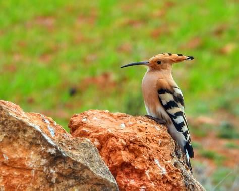 Rafaelcastillo59 en Hamelin: Fauna  (Povedilla), Upupa epops Linnaeus, 1758, Abubilla, Cortijo Pretel, Povedilla (Albacete) #birds #aves