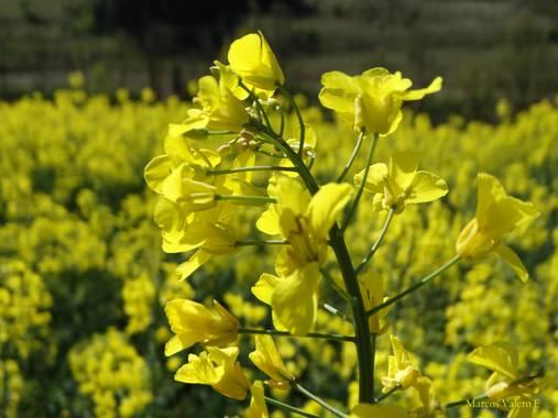 Marcos Valero Espinal  en Hamelin: Flora  (Navarra), Brassica napus