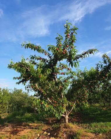S.- en Hamelin: Flora  (Alfondeguilla), Prunus cerasus, #AlCieloConÉl  #Árboles #SerieÁrboles #Frutos #Luz #Atardecer #Primavera #Cielo #Combinaciones #Mar...
