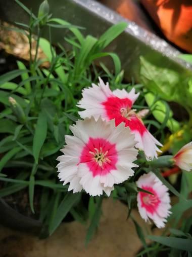 Yecoxl en Hamelin: Flora  (Sincelejo)