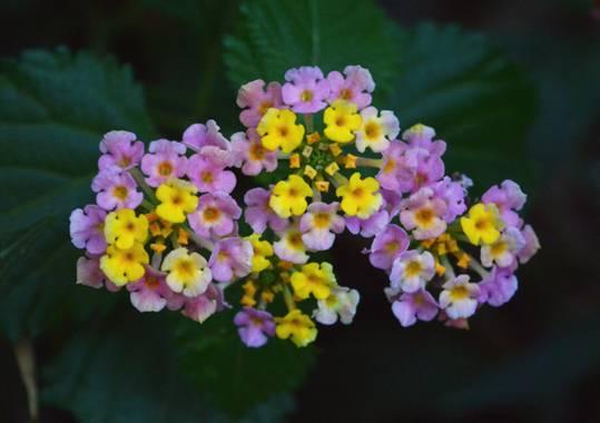 ivanmanuel en Hamelin: Flora  (San Lorenzo), Lantana camara, #lantanacamara