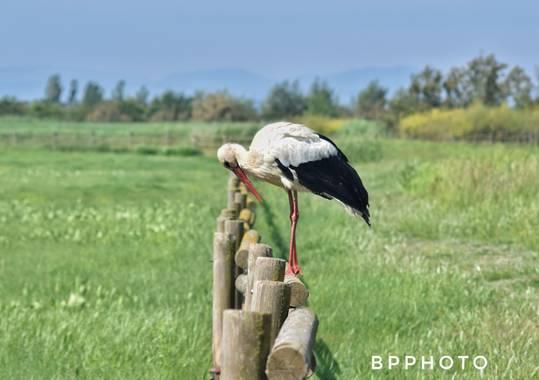 Blancapairopuig en Hamelin: Fauna, #ciconiaciconia #ciconia #cigueña #bird #birding