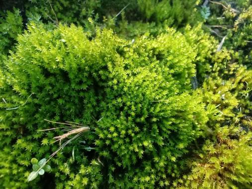 Aixa en Hamelin: Flora, #musgo