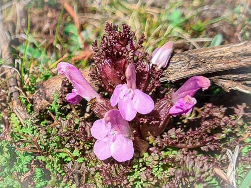 Marijohz en Hamelin: Flora  (Ezcaray), Pedicularis sylvatica, Macro pequeña rosada