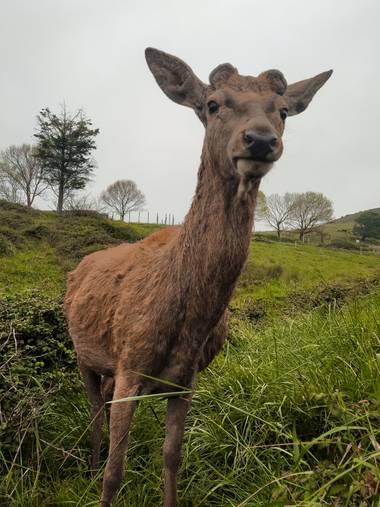 Eritz.cortazar en Hamelin: Fauna  (Gorliz), Ciervo común🦌 Un ciervo macho que ha soltado sus cuernos sobre el mes de febrero  #cervus #elaphus #cervuselap...