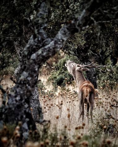 MARK(OS) - Mis fotos de Madrid en Hamelin: La berrea del ciervo - Proyecto  (Serradilla)