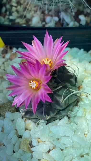 Juanjogomezdelgado en Hamelin: Cactus y Suculentas - Proyecto  (El Casar)