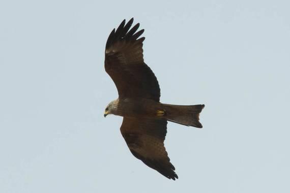 Pablolabajos en Hamelin: Aves de la provincia de Salamanca - Proyecto  (Salamanca)
