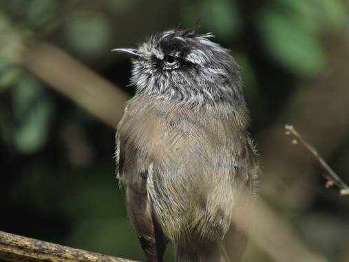 Montserrat en Hamelin: Aves de Chile / Birds of Chile 🇨🇱 - Proyecto  (Santiago)