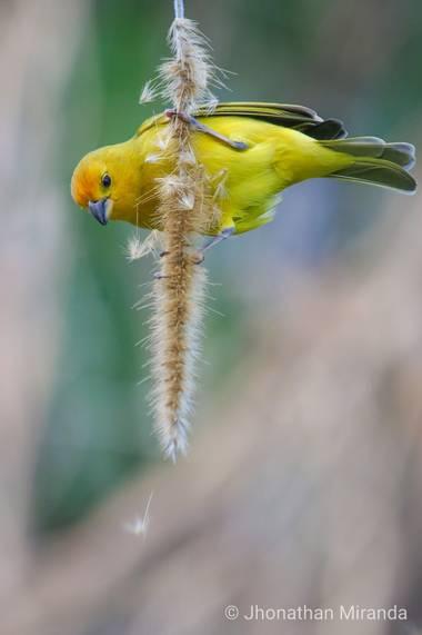 jhonathanmiranda1 en Hamelin: Birds of Venezuela / Aves de Venezuela - Proyecto  (Caracas)